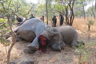 Slaughter of elephants: ZAWA continues shifting blame