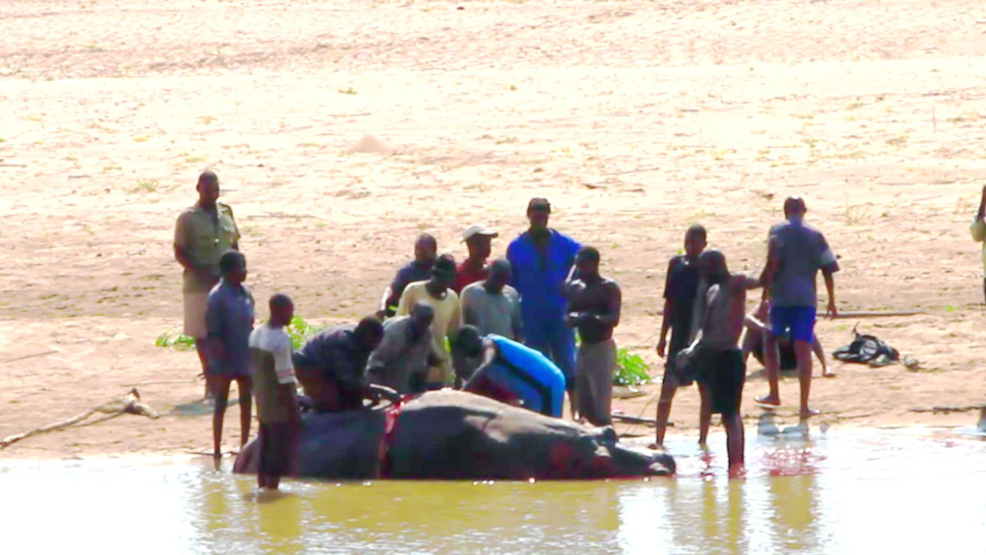 Why slaughtering of Luangwa hippos was halted