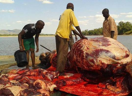 Govt to resume slaughtering hippos in Luangwa