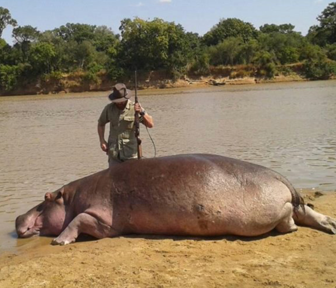 Zambia resumes barbaric slaughtering of hippos