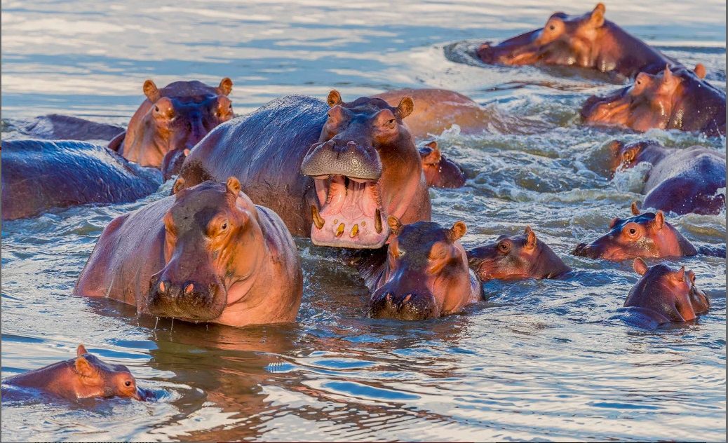 UK asked to intervene in Zambia's planned massacre of hippos for money