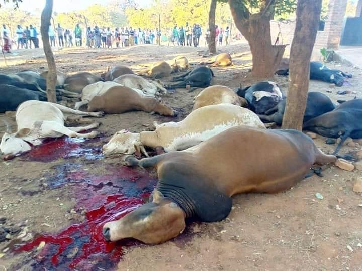 Government slaughters 71 cattle of Pemba farmer