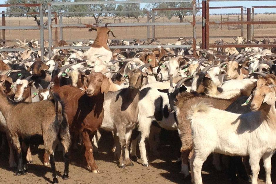 Exporting goats to Saudi Arabia non starter – Luo