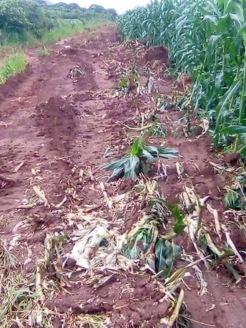 ZNS 'ploughs' crops in Eastern province